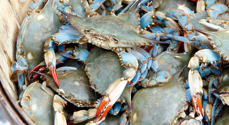 Blue claw crabs.