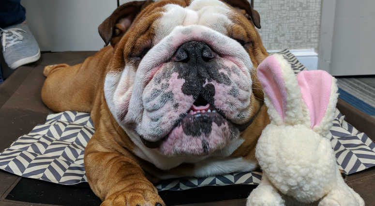 Henry, the cute bulldog puppy