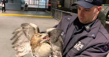 Hawk NYPD
