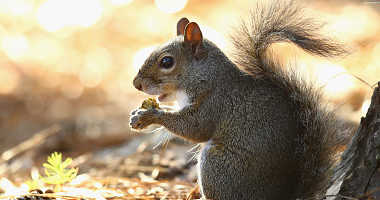 A squirrel eats an acorn