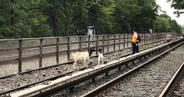 Goats spotted on train tracks in Brooklyn.