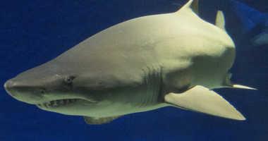Sand Tiger Sharks at the New York Aquarium.