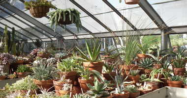 Succulent plants in a greenhouse at the New York Botanical Garden.