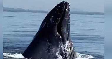 Humpback whale near coast of SI