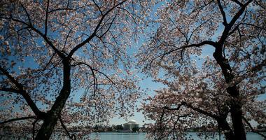 Caps Traffic Advisory: Cherry Blossom Parade to affect Game 2 travel