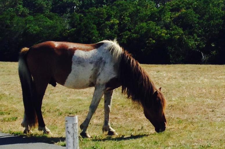 Ponies of Assateague Maryland