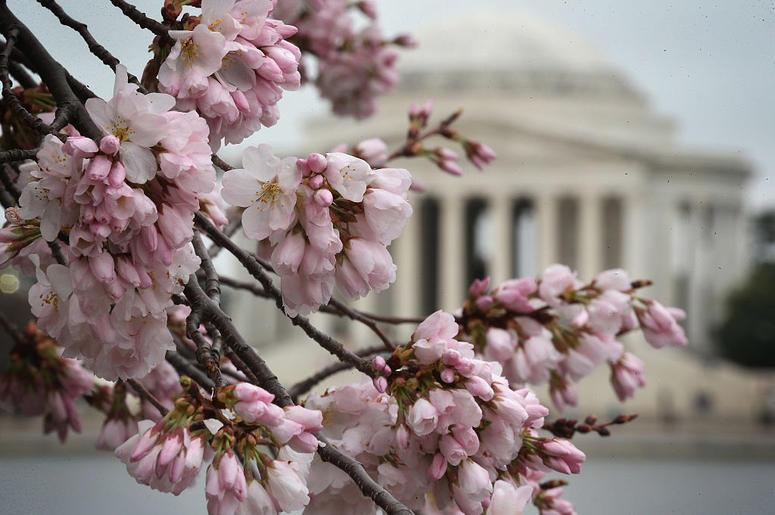 Cerezos en Washington, D.C. Pronto Estarán En Flor