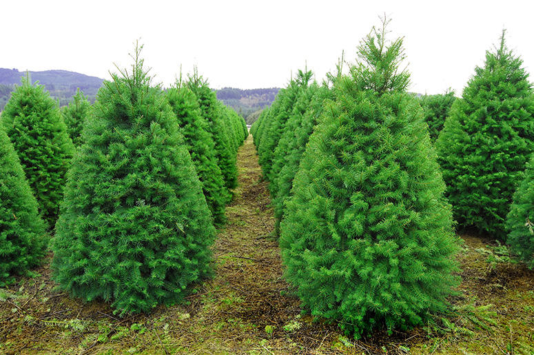 Bugs In Christmas Trees.Your Christmas Tree Could Be Filled With Bugs 103 3