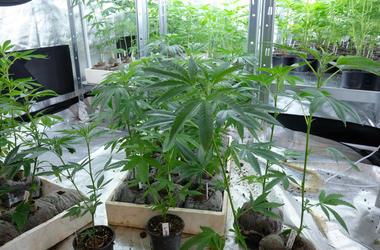 Medical Marijuana cannabis weed pot