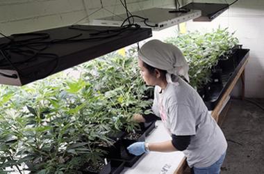 Marijuana_Weed_Social_Justice_Reform