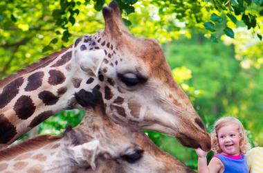 Zoo Giraffe