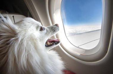 dog in airplane