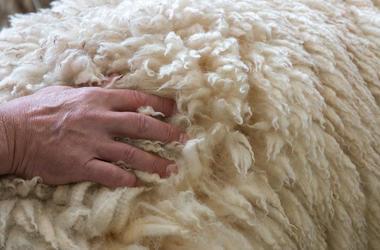 Man Pet Sheep