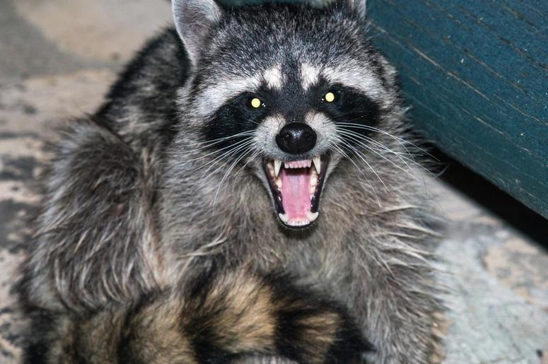 rabid raccoon screaming