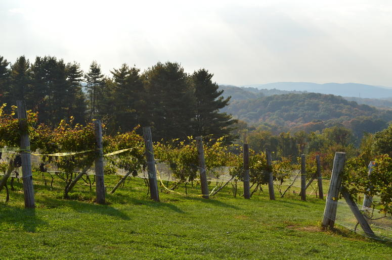 Rows of vineyards overlooking distant hills of New England countryside. Shot in Connecticut in the month of October.
