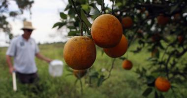 """Guy Davies, an inspector for the Florida Division of Plant Industry, checks an orange tree for the insect Asian citrus psyllid that carries the bacterium causing disease, """"citrus greening"""" or huanglongbing, from tree to tree in Fort Pierce, Fla."""