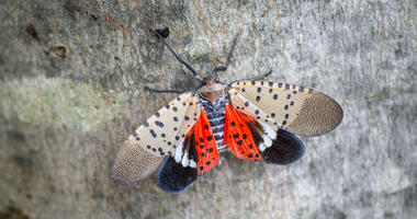 ITS ALIVE! First Live Lanternfly Spotted In Connecticut