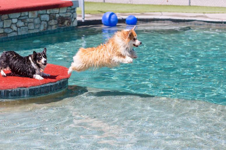 Corgis swimming