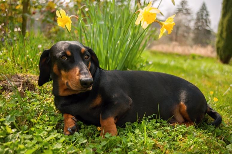 Stock image of a dachshund