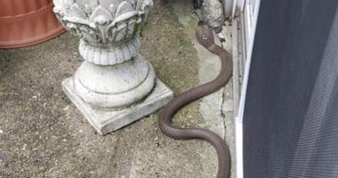 Pennsylvania cobra