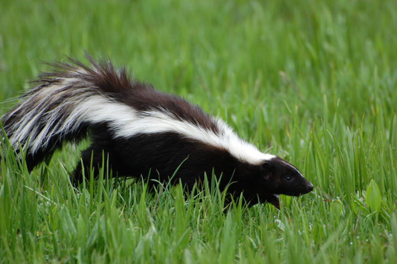 Skunk In Oakland County Tests Positive For Rabies