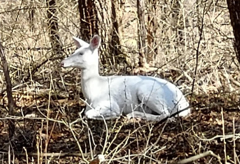 albino deer Oakland County