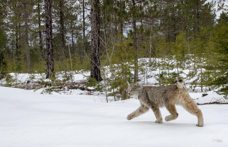 Michigan lynx