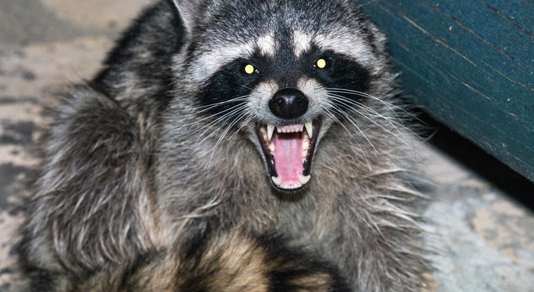 Raccoon attack, Raccoon, Clinton Township, Rabies