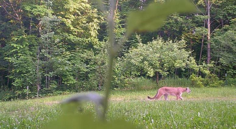 Cougar Spotted In Michigan's Upper Peninsula | WWJ Newsradio 950