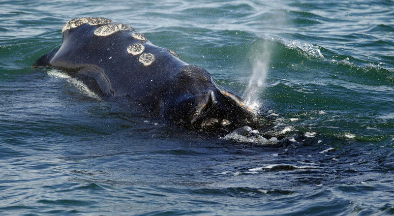 whale AP
