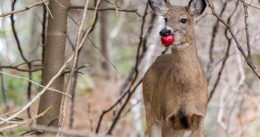 Deer Eating Apple