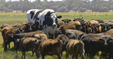 Knickers the steer