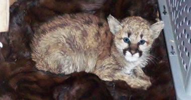 mountain-lion-kitten