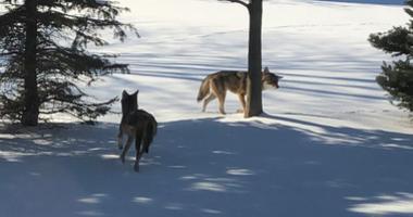 Coyotes in Washington Township