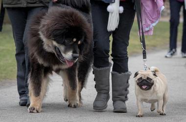 A pug and a Tibetan mastif.
