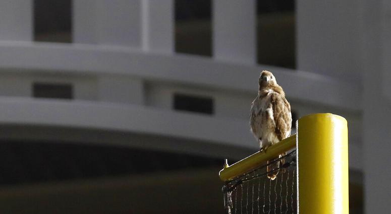red-tailed Hawk , Yankee Stadium
