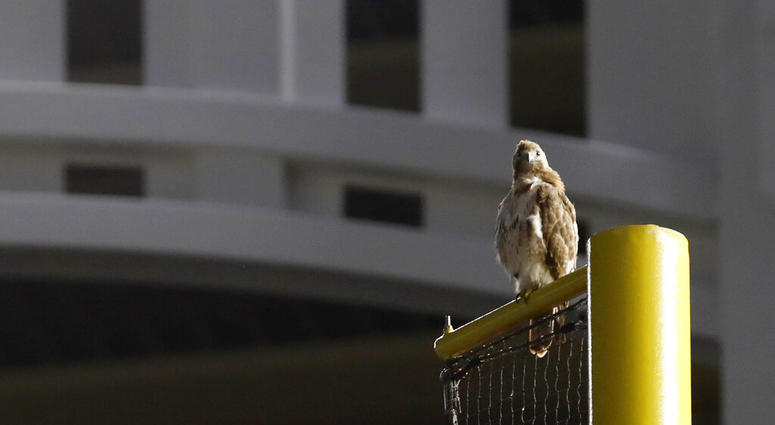 red-tailed Hawk , Yankee Stadium