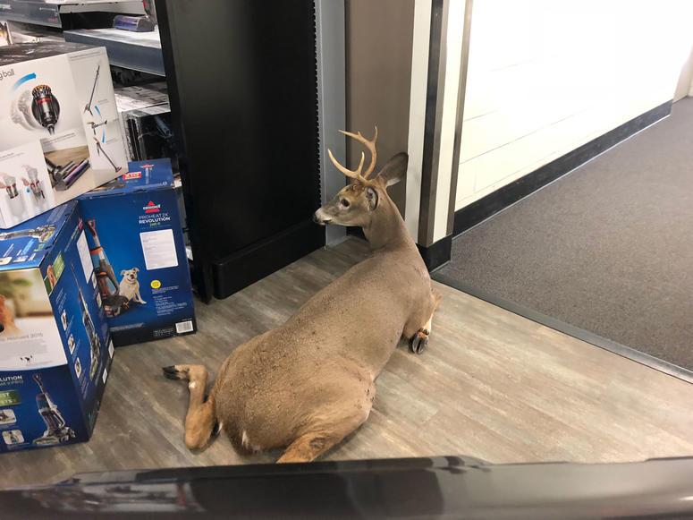 Deer in Best Buy