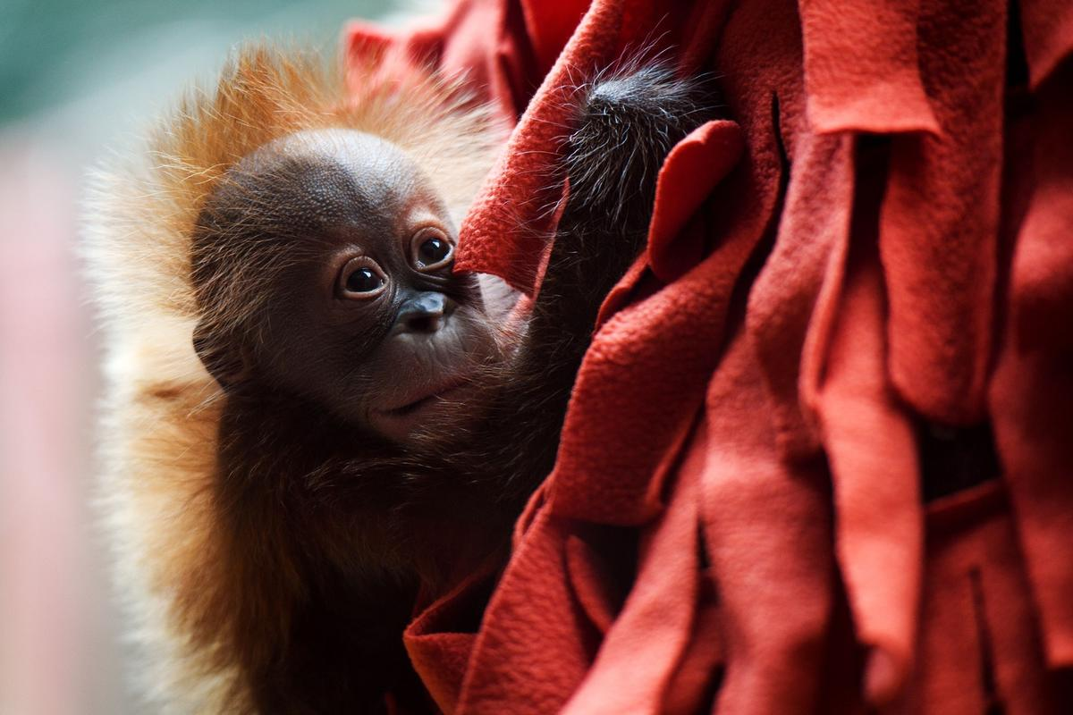 The Greenville Zoo's baby orangutan, Adira, shortly after she was born