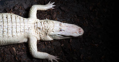 South Carolina's Albino Alligator Dies